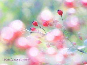 Rose_hip